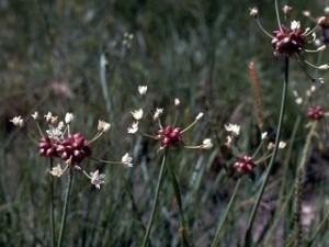 #4  Allium_canadense