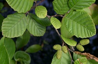 #6  Alnus_incana_rugosa_leaves