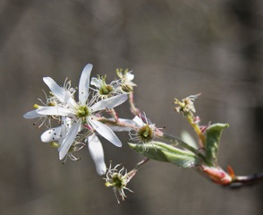 #8--2 Amelanchier_arborea_sarvis_close  #2